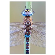 Migrant Hawker Dragonfly (Aeshna mixta), Spain Canvas Art