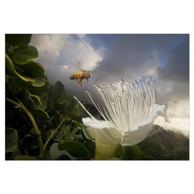 Honey Bee approaching rare Maiapilo (Capparis sand Canvas Art