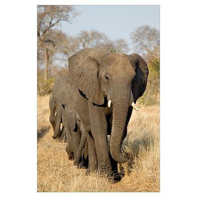 Elephants Stroll Wall Art Poster