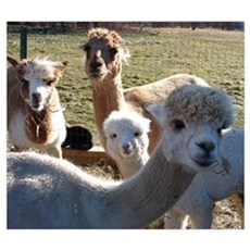 ALPACA FAMILY PORTRAIT™ Wall Art Poster