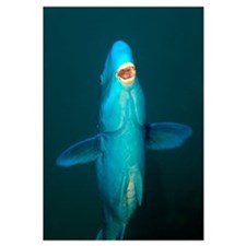A Blue Parrotfish in the Atlantic Ocean off the co