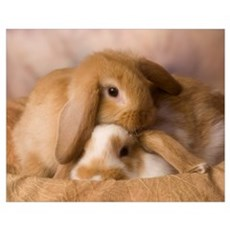 Cuddle Bunnies Wall Art Poster