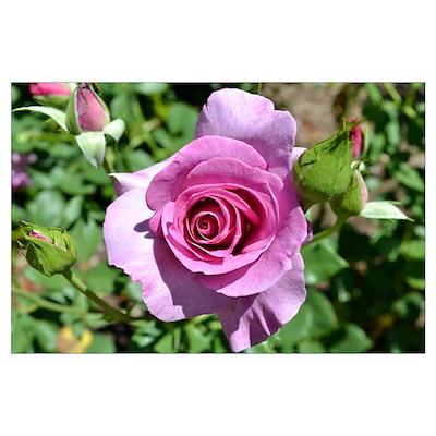 Beautiful Rose Wall Art Poster