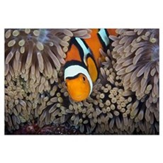 A female clownfish looks after her eggs at the edg Framed Print