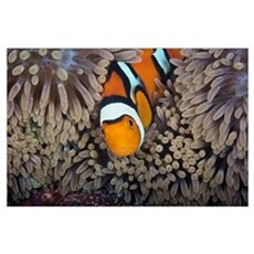 A female clownfish looks after her eggs at the edg Poster