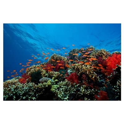 A school of orange basslets on a healthy coral ree Poster