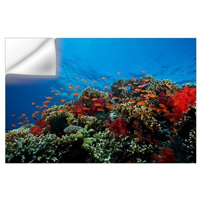 A school of orange basslets on a healthy coral ree Wall Decal