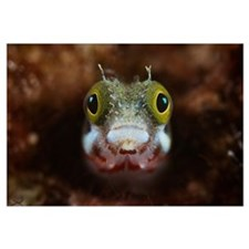 A Secretary Blenny looks out from its coral home