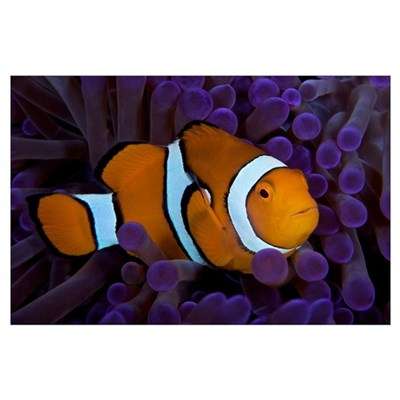 False Ocellaris Clownfish in its host anemone, Pap Poster