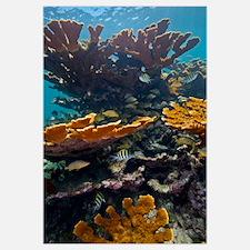 Tropical fish take refuge amongst Elkhorn Coral