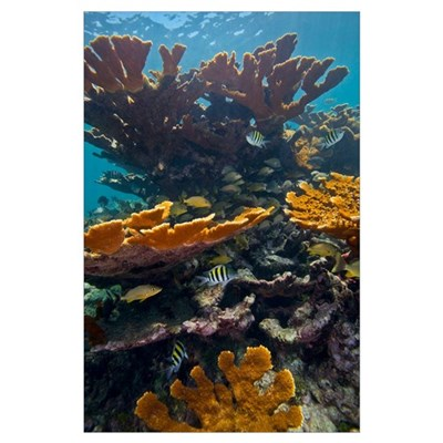 Tropical fish take refuge amongst Elkhorn Coral Poster
