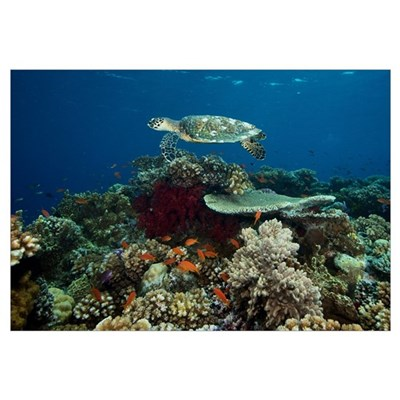 Hawksbill turtle glides over the pristine reefs in Canvas Art