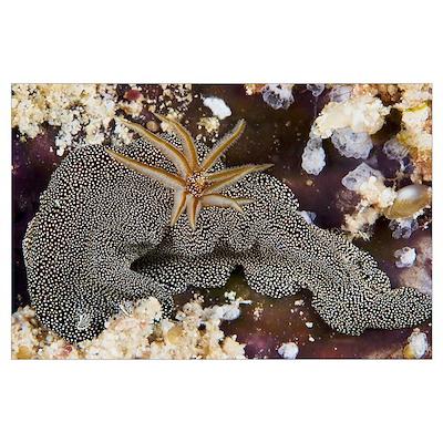 Nudibranch feeding on algae, Papua New Guinea Poster
