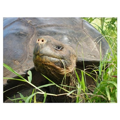 Galapagos Islands Turtle Wall Art Poster
