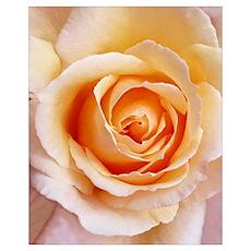 Creamy Orange Rose Wall Art Poster