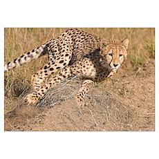 Cheetah On The Move Wall Art Poster