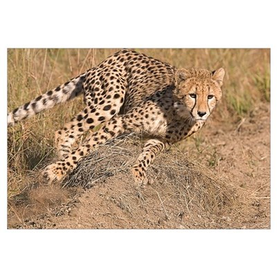 Cheetah On The Move Wall Art Poster