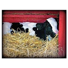 Cow Photo Poster Canvas Art
