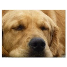 Golden Retriever sleeping Wall Art Poster