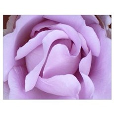 Lavender Rose Wall Art Poster