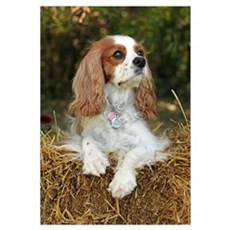 Cavalier King Charles Wall Art Framed Print