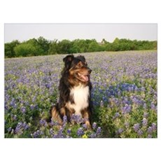 Aussie in the Bluebonnets Wall Art Poster
