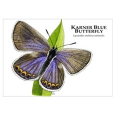 Karner Blue Butterfly Wall Art Poster