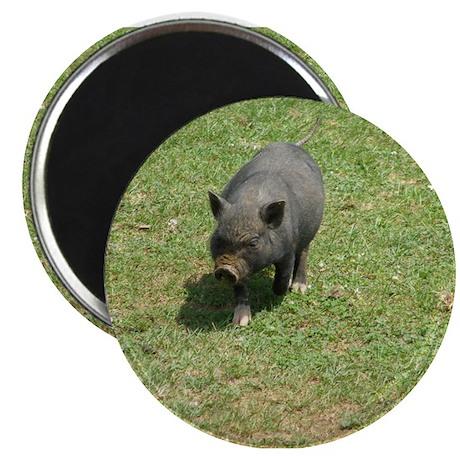 """Pot Bellied Pig 2.25"""" Magnet (10 pack)"""