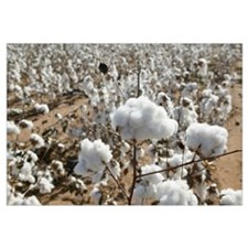 Close-up of cotton plants in a field, Wellington,