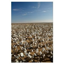 Cotton plants in a field, Wellington, Texas