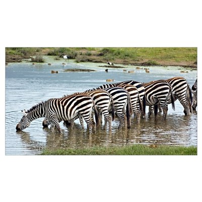 Herd of zebras drinking water in a lake, Ngorongor Poster