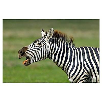 Side profile of a zebra braying, Ngorongoro Conser Poster