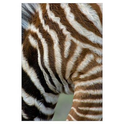 Close-up of a zebra, Ngorongoro Conservation Area, Poster