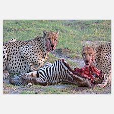 Portrait of two cheetahs eating a zebra, Ngorongor