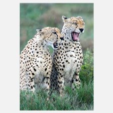 Close-up of two Cheetahs in rain, Ngorongoro Conse