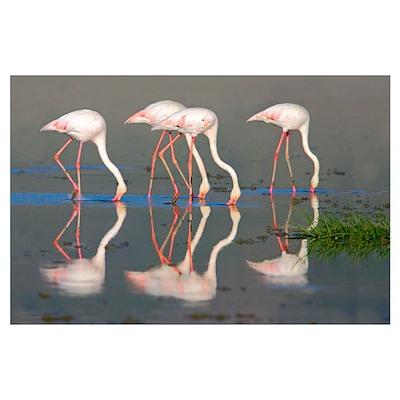 Side profile of four Greater flamingos, Ngorongoro Poster