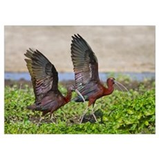 Side profile of two Glossy ibis, Ngorongoro Conser Poster