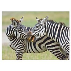 Close-up of two zebras, Ngorongoro Conservation Ar Poster