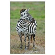 Zebra standing in a field, Ngorongoro Conservation Canvas Art