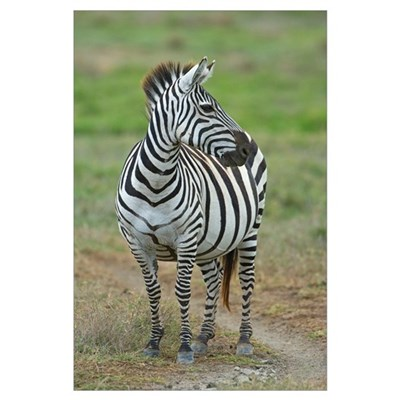 Zebra standing in a field, Ngorongoro Conservation Framed Print