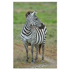 Zebra standing in a field, Ngorongoro Conservation Poster
