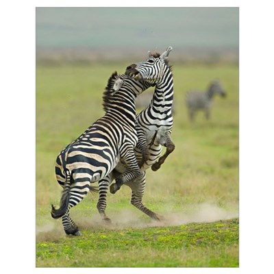 Two zebras fighting in a field, Ngorongoro Conserv Poster