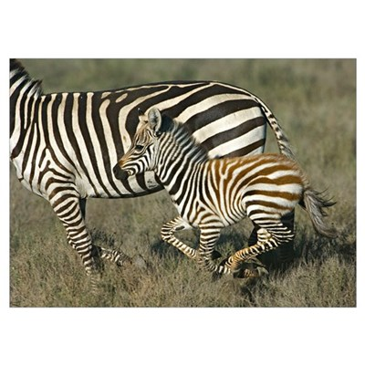 Side profile of a zebra and its foal running in a Poster
