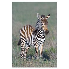Young zebra standing in a field, Ngorongoro Conser Framed Print