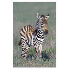 Young zebra standing in a field, Ngorongoro Conser Poster