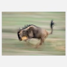 Side profile of a wildebeest running in a field, N