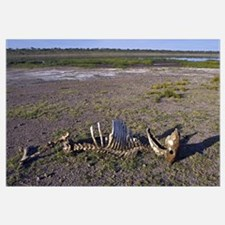 Skeleton of a wildebeest in a field, Ngorongoro Co