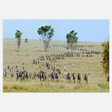 Herd of wildebeest and zebras in a field, Ngorongo