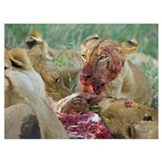Four lioness eating a kill, Ngorongoro Conservatio Poster