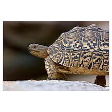 Close-up of a Leopard tortoise, Tarangire National Poster